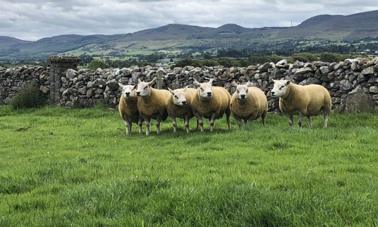 Sheep Focus: A preview of what's on offer at the Big Boy Ram Sale next week