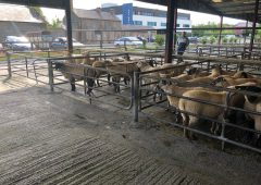 Pics and prices: Small sale of sheep sees a strong trade all round at Loughrea mart