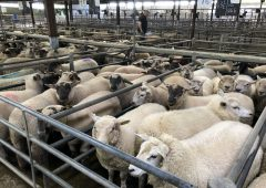 Sheep trade: Base quotes for lambs increase by a further 10c/kg