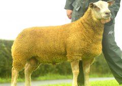 Cavan breeder smashes record at 30th anniversary Charollais sale