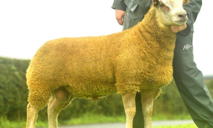 Cavan breeder smashes record at 30th anniversary Charollais sale