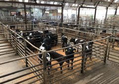 Hereford and Angus-cross calves make up to €385/head at Enniscorthy Mart