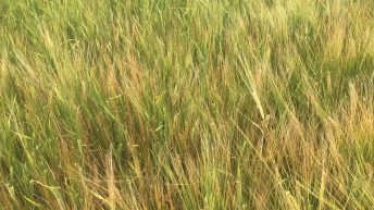 No easy answer to secondary growth in spring barley