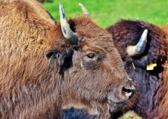 Bison to be introduced to British woodland