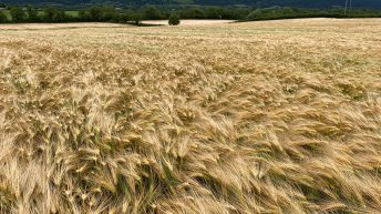 Will this BYDV tolerant winter barley bring 'joy' to farmers?