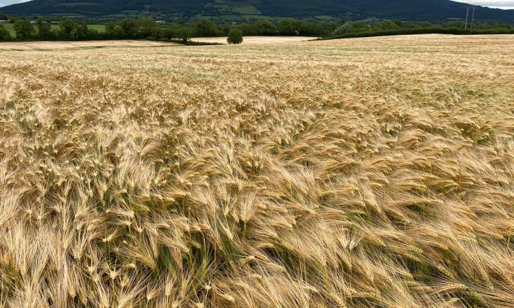 Will this BYDV tolerant winter barley bring 'joy' to farmers?