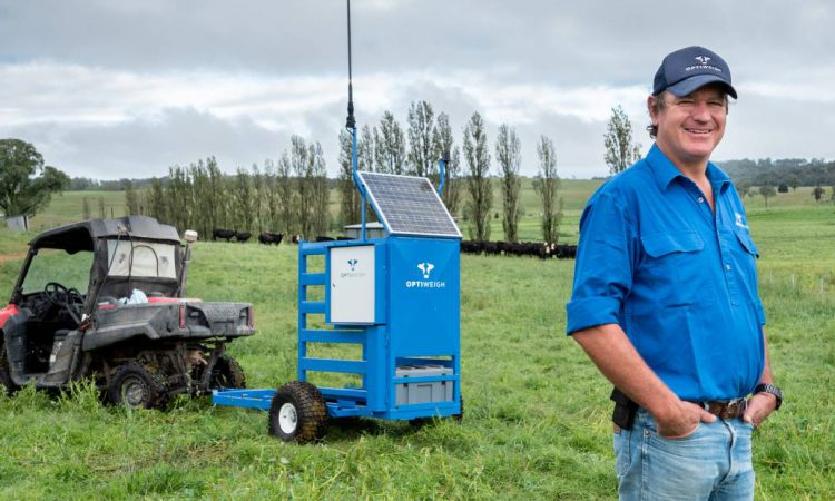 Remote, portable system can 'weigh' cattle while unattended