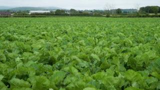 CROPS WATCH: Smart beet due fungicide