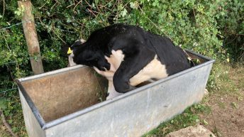 Firefighters called in to save steer stuck in water trough