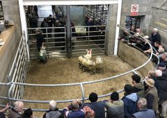 More beef farmers dipping into the store lamb market as 'cattle are too dear at present'