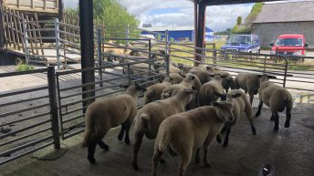 Sheep trade: 'Uncertain times' as quotes fall below the €5.00/kg mark