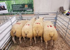 Texel ram comes out on top at the Big Boy Ram Sale