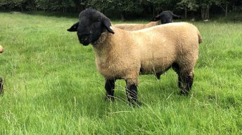 Sheep management: Time to check if your ram is fit for purpose