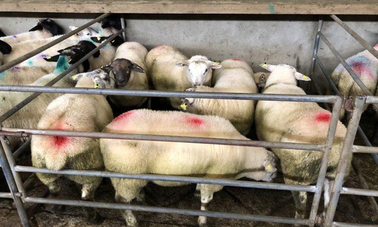 Sheep trade: Lamb prices see an increase of 10-20c/kg