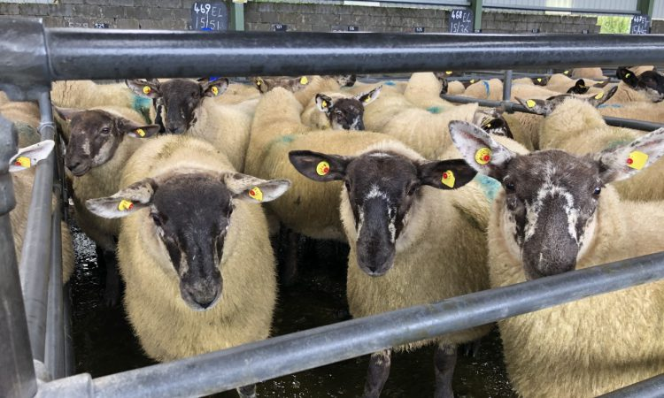 Breeding sales: Ewe lambs catch the eye across marts