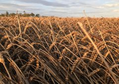Tillage sector now looking at a collapse in farm income – IFA