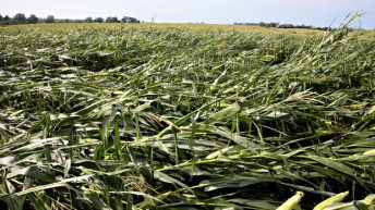 Winds topple US corn crops
