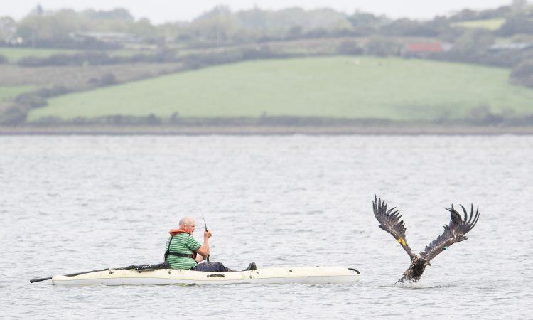 Norwegian eagles released in Munster