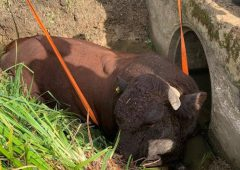 Firefighters called in to rescue 1,000kg bull stuck in ditch