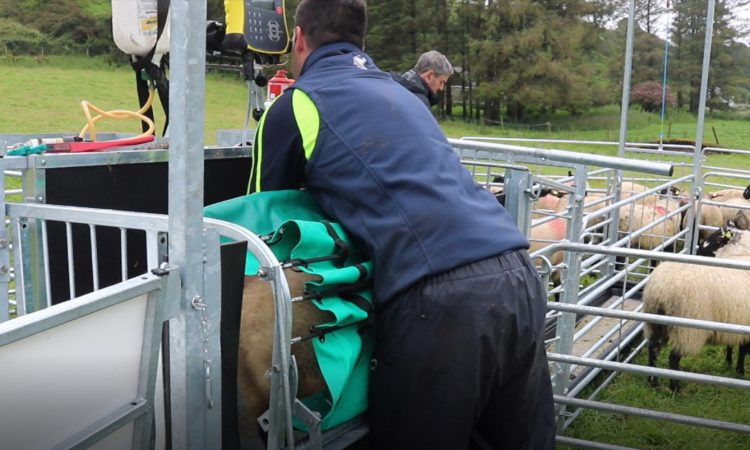 Video: Knowing when your lambs are ready 'to maximise profitability'