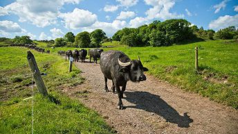 Video: How much did the first ever buffalo calves to go to an Irish mart make?