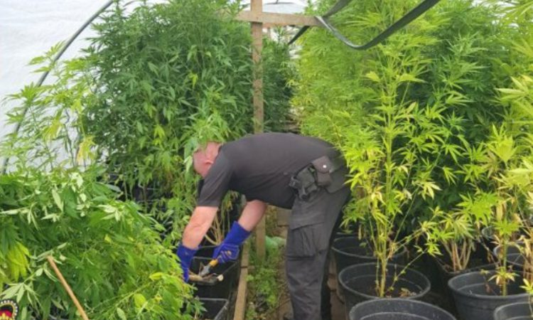 Police seize 'large cultivation' of cannabis plants from farm