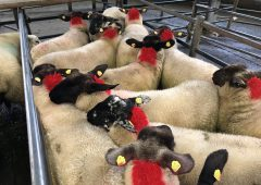 Sheep marts: Factory lamb prices take a hit