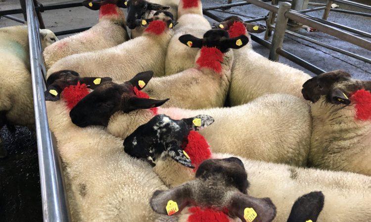 Sheep marts: Factory lamb prices take a hit