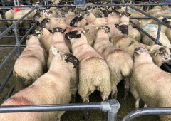 Sheep trade: Lamb prices ease by 10-20c/kg