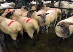Breeding sales: Ewe lambs make up to €170/head at Donegal Mule Group sale