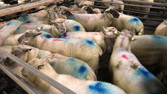 Sheep marts: Stronger trade for finished lambs in places despite pull in factory prices