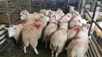 Sheep marts: Trade remains strong across the board