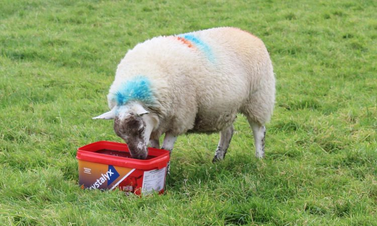 Improve ewe fertility this tupping season with Crystalyx