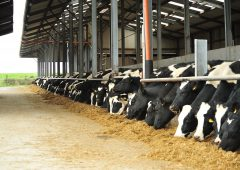 The importance of correct dry cow mineral