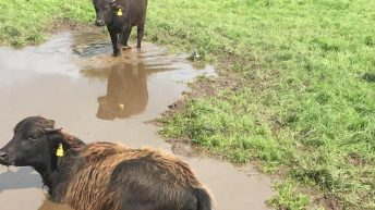 Thurles Mart gearing up for Ireland's first ever sale of buffalo calves