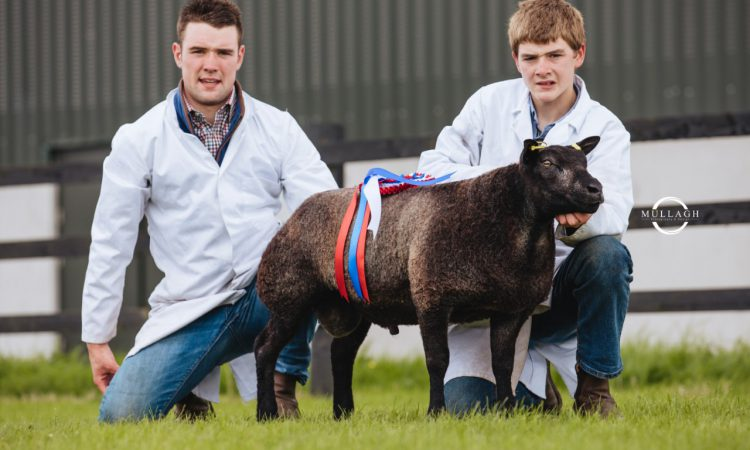 Irish Blue Texel sale: Ewe lamb comes out on top at €1,200