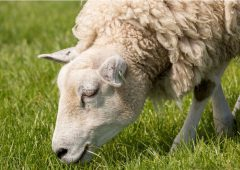 Teagasc Virtual Sheep Week: Grassland management for sheep systems