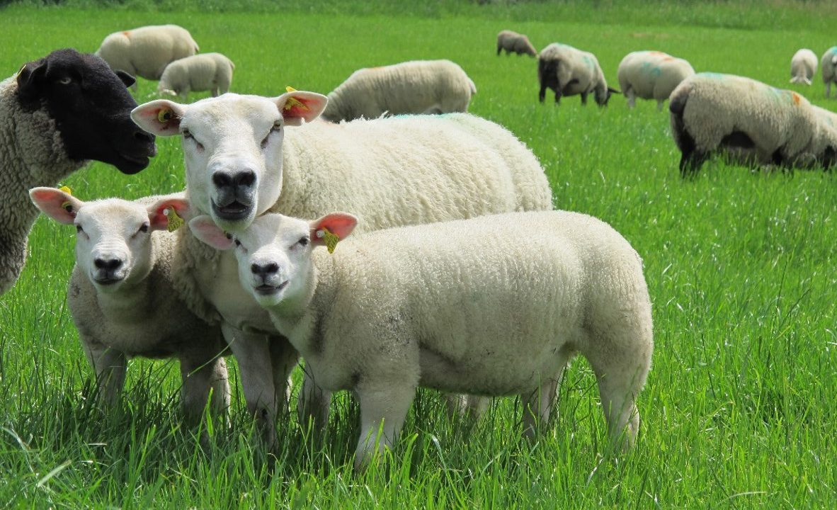 Increasing the productivity of a grass based, mid-season lambing system