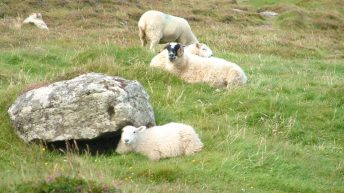 National and EU policy and environment affecting sheep production