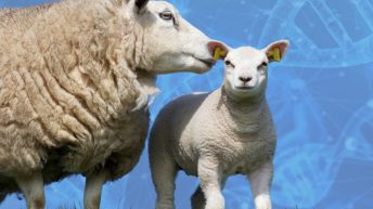 Increasing productivity and efficiency on sheep farms through breeding and genetics