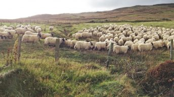 Developing systems for finishing hill-bred store lambs