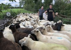 Sheep Focus: Gearing up for the breeding season in Co. Carlow