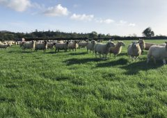 Clearance sale of 200 'genuine' ewes this Thursday, as farm makes way for dairy