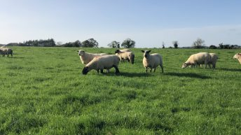 Top price of €220/head recorded at clearance sale of 200-ewe flock at Carnew Mart