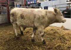 Pics from the mart: Sharp trade for quality bullocks at Castlerea Mart