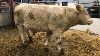 Pics from the mart: Sharp trade for quality bullocks at Castlerea Mart