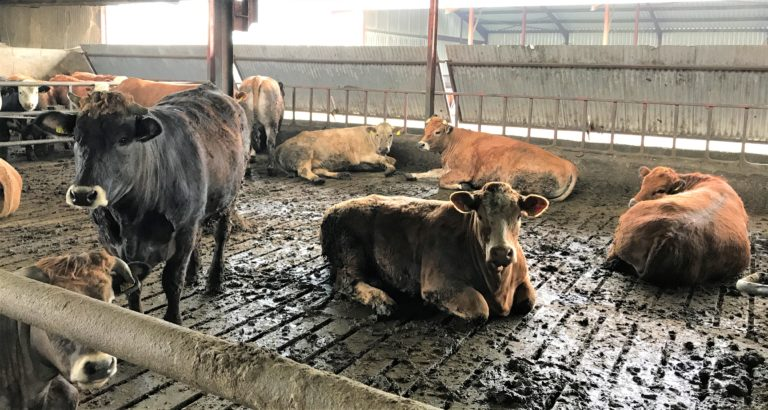 Have you adequate feed and lying space for your cattle this winter?