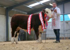 Irish Hereford Breed Society to host 'virtual calf show'