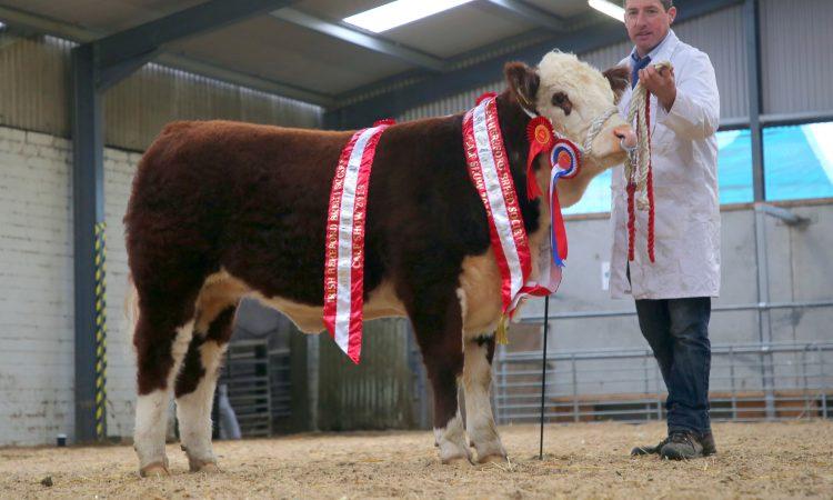 Irish Hereford Breed Society to host 'virtual calf show'