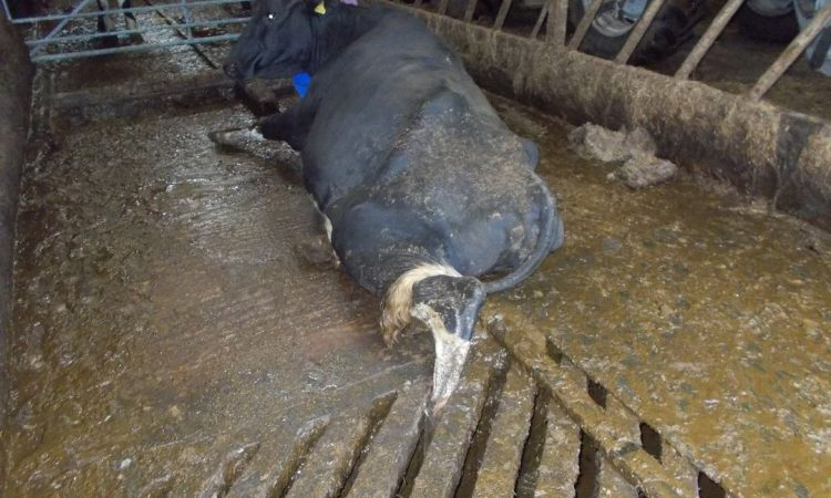 Firefighters called in to rescue cow stuck in grating
